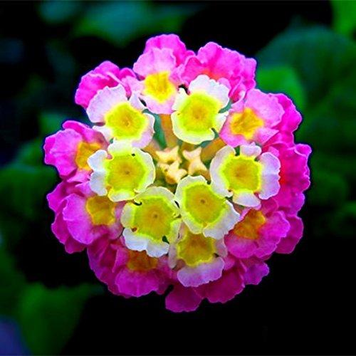 New Lantana Camara en pot Graines 50Pcs / sac Fleurs rares pour le jardin Plantation d'Fleurs Bonsai Semillas de Flores Livraison gratuite 8
