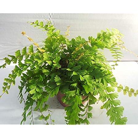 Adiantum VAR Fragrans Fern House Plant in a 8.5cm Pot Maidenhair Fern