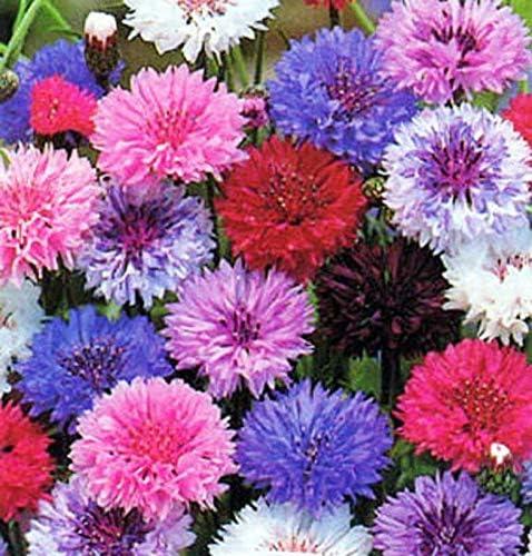500 Dwarf Blue Bachelor Button Cornflower Seeds