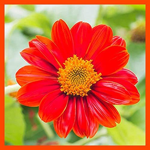 PLAT FIRM GRAINES DE Germination: Rouge Mexikanische Sonnenblume Blumensamen 1000 Samen A Livraison Gratuite en Plein air