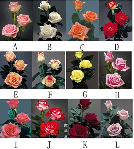 Aerlan Blumensamen Bunte,Roter Rosensamen-Blumenbalkon Innen-Topfrose-EE_100g,mehrjährig Blumen