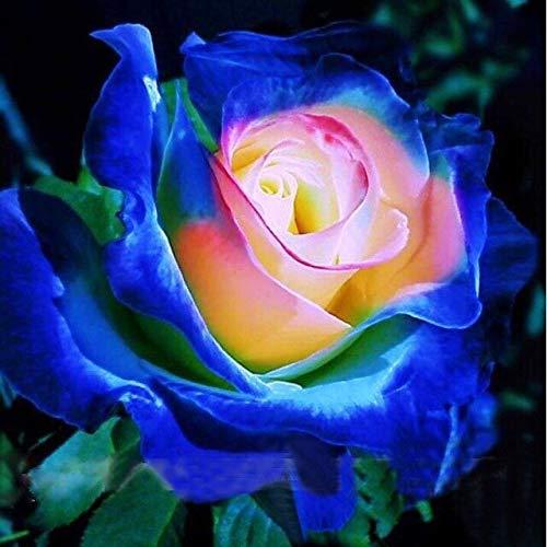 Seltene blaue rosa gelbe Rosenbusch-Blumensamen, Berufs100 Samen/Satz, heller wohlriechender kleiner Garten * Bestes Bonsai-Haus