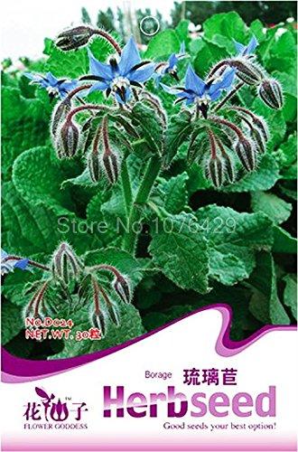 Bourrache Graines Boraginaceae Aromatic Plants Herb D024