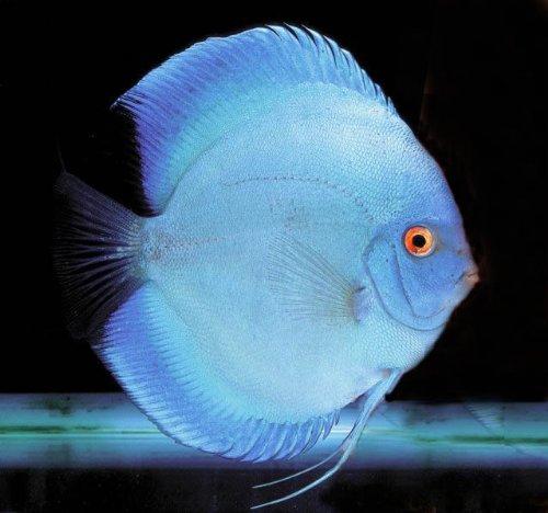 (熱帯魚)ブルーダイヤモンド ディスカス(約6cm)<1匹>[生体]