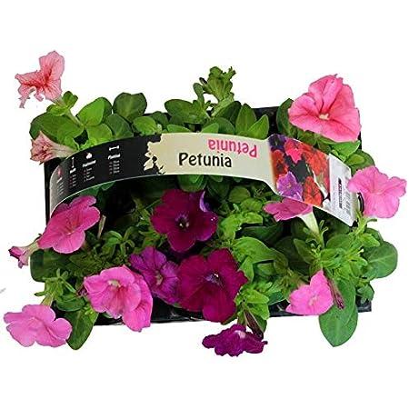 Pack de 6 Petunias Plantas con Flor para Terraza y Jardín Plantas Naturales Colores Surtidos