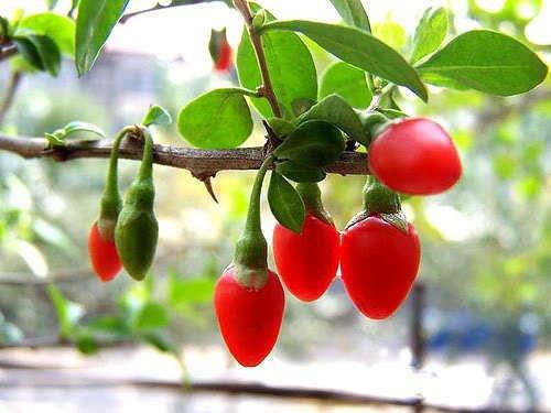 30 PC Xinjiang Hami Melon Seeds, haute valeur nutritive de fruits graines, plantes en pot
