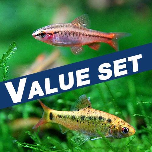 【バリューセット】チェリーバルブ(約2cm)(3匹)+ゴールデンバルブ(約2-3cm)(3匹)[生体][熱帯魚]