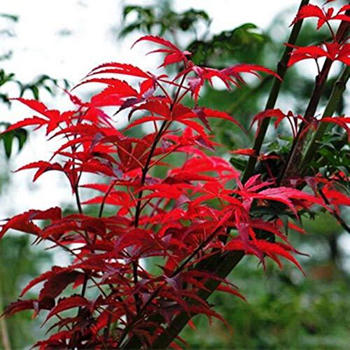 10Pcs Semi Di Acero Rosso Palmatum Pianta Bonsai Giardino Domestico Decorazione Da Giardino Semi di albero di acero 10 pezzi