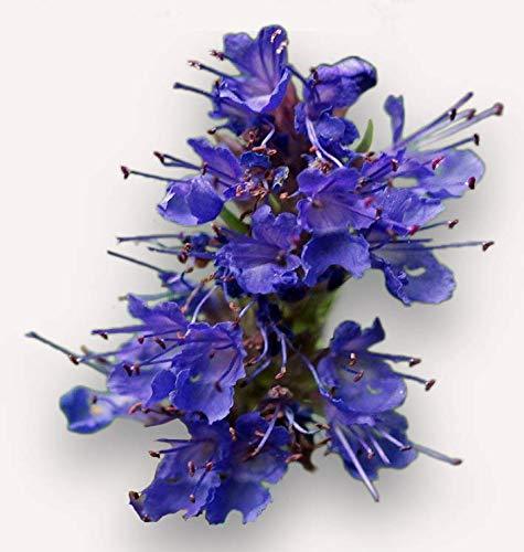 100 graines Aromatiques - HYSOPE OFFICINALE- Hyssopus