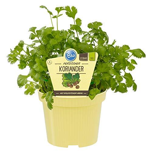 100pcs Heirloom Seeds Coriandre All Seasons Persil Graines de légumes biologiques Bonsai Fragrant des plantes comestibles pour jardin