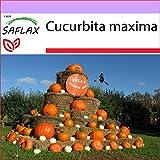 SAFLAX - Calabaza Atlantic Giant - 7 semillas - Cucurbita maxima