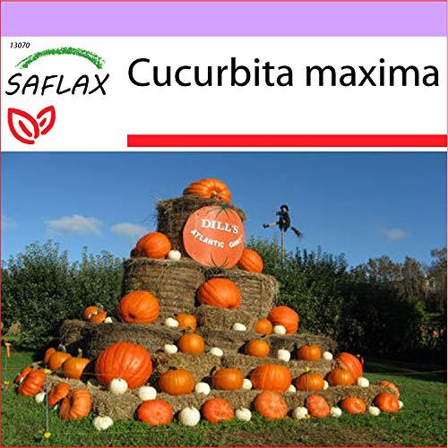 SAFLAX - Zucca gigante - 7 semi - Cucurbita maxima