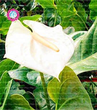 , Les graines de 50pcs Anthurium, graines en pot, graines de fleurs, la variété complète, le taux de 95% en herbe, (couleurs mélangées) 2
