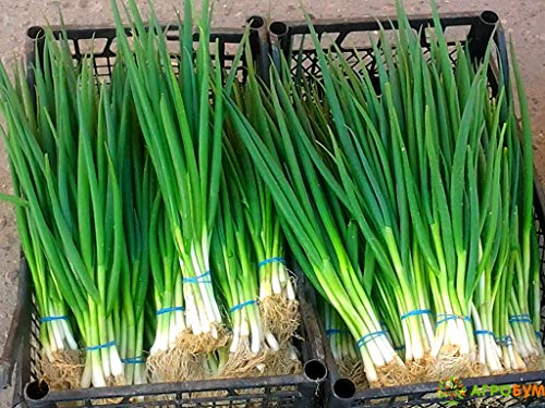 Bunching Green Onions Scallions About 250 Seeds