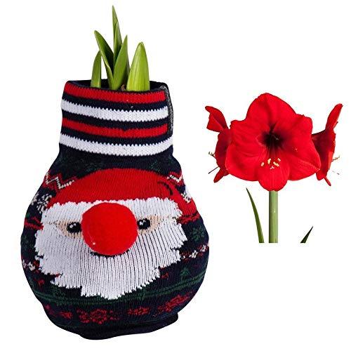 Pflanzen Kölle Gewachste XL-Amaryllis-Zwiebel, Weihnachtspullover mit Nikolaus