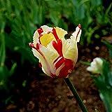 Tulipan bulbo,Una Flor de Tulipán con Fuerte vitalidad,Planta perenne-2,7bulbos
