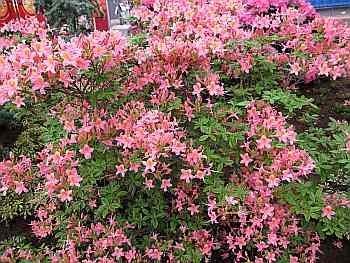 Rhododendron luteum Pucella - Azalea Pucella