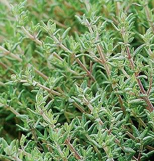 Thyme Orange Thymus fragrantissimus 250 Seeds Need More? Ask