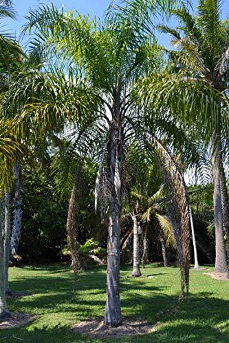 3 Semillas de Palmera Coco plumoso (arecastrum romanzoffianum)