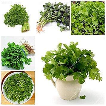 300pcs/sac exotiques Graines Coriandre en plein air savoureux Cilantro Herb Bonsai Jardin Plante en pot pour Flower Pot Planters