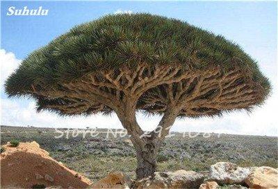 Livraison gratuite 10 Pcs rares Dracaena arbre alpiste Tree Island sang (Dracaena draco) Jardin des plantes voyantes, exotiques 20 Diy