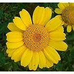 50g WILDFLOWER CORNFIELD MEADOW SEEDS 70/30 WILD FLOWER PACK 50g MIX 92 UK SEED