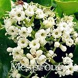 promtions 50pcs ligustrum lucidum semi di fiori oleandro piante in vaso vaso facile da coltivare decorazione del giardino giapponese semi di fioritura