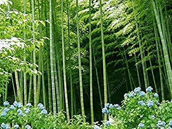 ASTONISH SEEDS: Boo semilla 50pcs Verde MOSO BOO árbol Semillas Imber de pata con la decoración del jardín central para el envío libre de bricolaje en casa