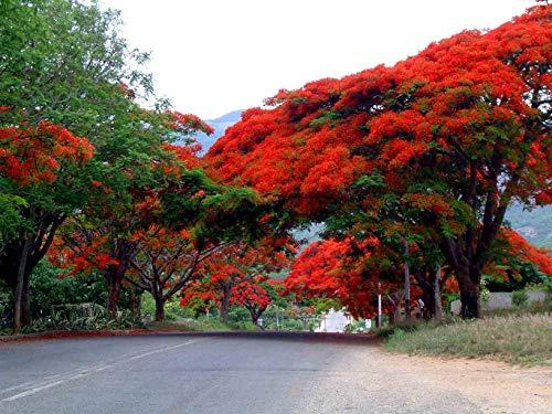 Semillas Delonix regia Delonix Flamboyant Llama árbol Flores rojas en el sur