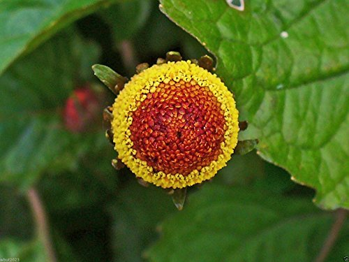 Acmella Oleracea, Toothache Pflanze, tropische mehrjährige Pflanze, 25 Samen
