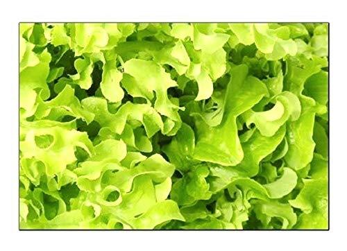 500 Salad Bowl Lettuce Seeds | Non-GMO | Fresh Garden Seeds