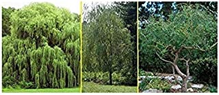 3 Live Plant Willow Tree Bundle - 1 Hybrid Willow Tree + 1 Weeping Willow + Tree 1 Corkscrew Willow Tree- Fast Privacy Hedge and Attractive Shade Trees That are Easy to Grow. Indoor/Outdoor