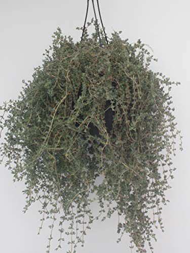 pianta di Barba di giove o Drosanthemum pianta grassa da fiore pianta da esterno pianta pendente basket 18 cm venduto da eGarden.store