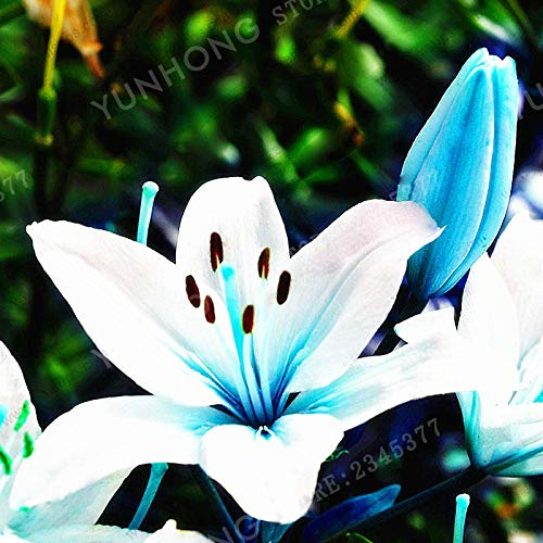 PLAT FIRM GERMINATIONSAMEN: 2 Birnen: Blaue Herz-Lilien-Blumen-Zwiebeln, blaue Herz-Lilien, nicht Seeds - 2 Zwiebeln
