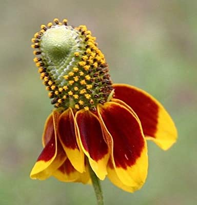 500 DWARF MEXICAN HAT Ratibida Columnaris Flower Seeds