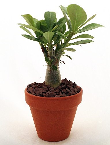 'Desert Rose' Plant - Natural Bonsai - Adenium obesum - 3' Pot