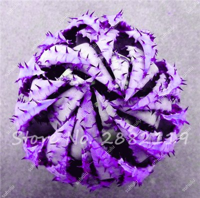 Rare Serpent Aloe Vera Seed 30 Pcs forme rare Aloe Vera plante à base de plantes succulentes semences Bonsai de haute qualité pour l'usine Balcon & Jardin 4