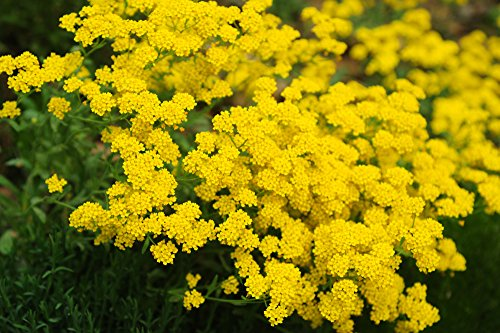 Steinkraut gelb 100 samen, Alyssum -Das Steinkraut darf in keinem sonnigen Garten fehlen !