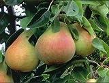 2 Dwarf RED PEAR Trees 9-15 INCH SEEDLINGS Flowering Fruit Trees Live Plants