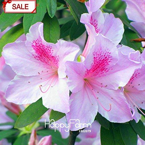 Vente! Bonsai Koshiro Azalea Seeds Balcon Potted Graines de fleurs Sims Azalea 200 graines / paquet, # DGJFKJ