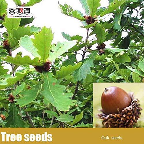 Portal Cool Semillas de roble 2pcs / pack ampliamente cultivada Semillas Pin Oak Ãrbol de hoja caduca Home Garden