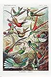 Close Up Kolibris (Trochilidae) Poster Ernst Haeckel -
