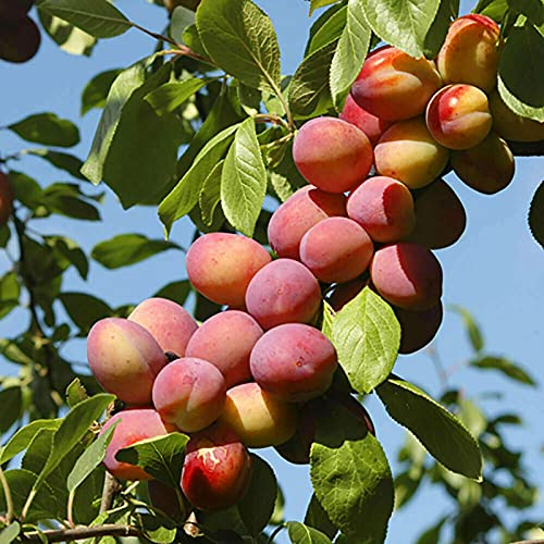 C-LARSS 5 Piezas/Bolsa De Semillas De Nectarina, Plántulas De árboles Frutales Productivas Sin OMG Bien Adaptadas Para Paisajismo Semilla