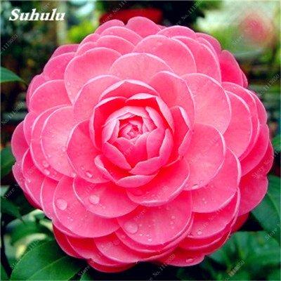 Grosses soldes! 10 Pcs Camellia Graines, Graines Bonsai Fleur, couleur rare, intérieur/extérieur Bonsai Plante en pot pour jardin Facile à cultiver