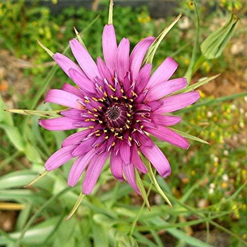 Portal Cool Haferwurzel 15+ Seeds - Essbare Zier Herb Pflanze Jerusalem Stern