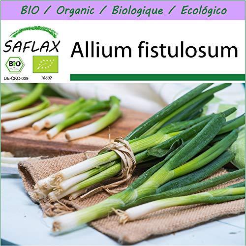 SAFLAX - Ecológico - Cebolla tierna - Ishikura japonés - 150 semillas - Allium fistulosum