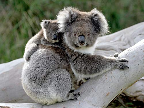 Koala Forrest