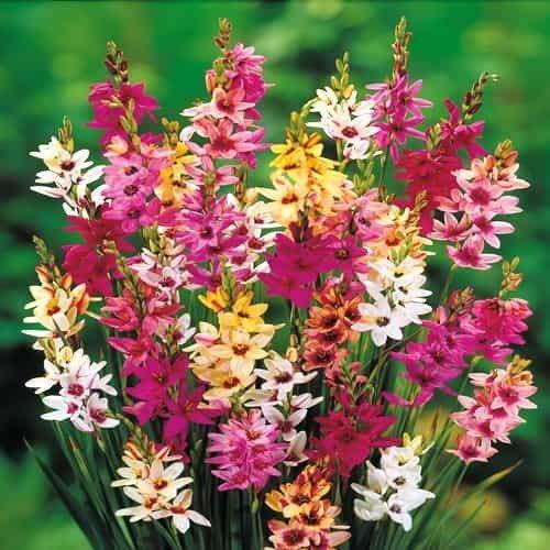 TOMASA Seedhouse- Semi di Yedoensis viola Semi di fiori perenni hardy Fiori Semi Sticky Sticks Piante per balcone, giardino