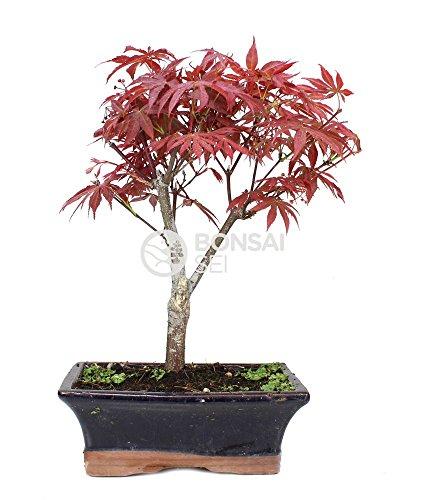 Bonsai - Arce, 9 Años (Bonsai Sei - Acer Palmatum Atropurpureum)