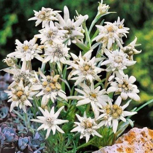 Edelweiss Blumensamen (Leontopodium Alpinum) 100 + Seeds